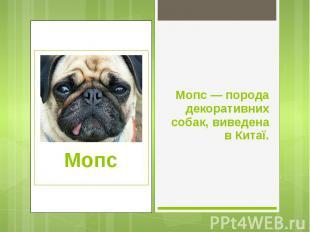 Мопс — порода декоративних собак, виведена в Китаї. Мопс — порода декоративних с