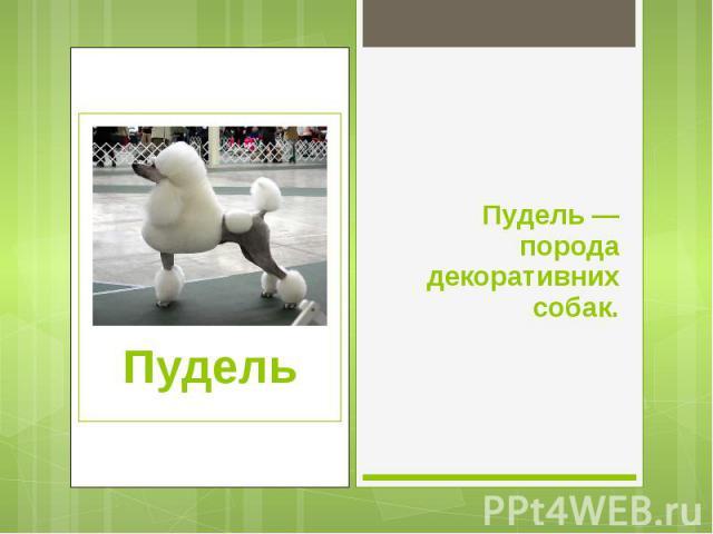 Пудель — порода декоративних собак. Пудель — порода декоративних собак.
