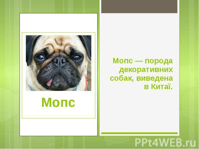 Мопс — порода декоративних собак, виведена в Китаї. Мопс — порода декоративних собак, виведена в Китаї.
