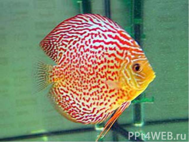 Для большей части аквариумных рыб характерны: яркая декоративная окраска причудливые формы тела и небольшие размеры