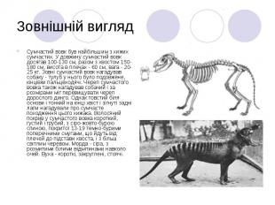 Зовнішній вигляд Сумчастий вовк був найбільшим з хижих сумчастих. У довжину сумч