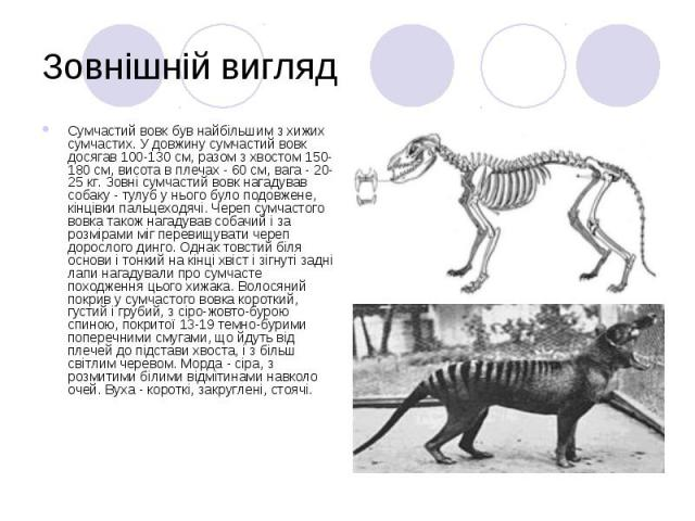 Зовнішній вигляд Сумчастий вовк був найбільшим з хижих сумчастих. У довжину сумчастий вовк досягав 100-130 см, разом з хвостом 150-180 см, висота в плечах - 60 см, вага - 20-25 кг. Зовні сумчастий вовк нагадував собаку - тулуб у нього було подовжене…
