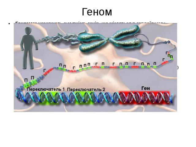 Геном Геномомназивають сукупність генів, що містяться в гаплоїдному (одинарному) наборі хромосом даного організму. Геном є характеристикою не окремої особини, а видів організмів. У лютому 2001 року в американських журналах «Nature» і «Science»…