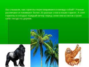 Вы слышали, как гориллы переговариваются между собой? Ученые различают и понимаю