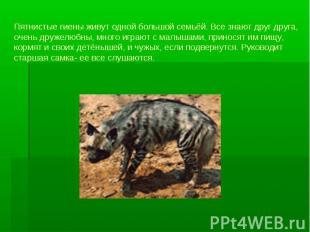 Пятнистые гиены живут одной большой семьёй. Все знают друг друга, очень дружелюб