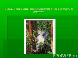 У коалы острые когти, которые помогают ей хорошо лазить по деревьям.