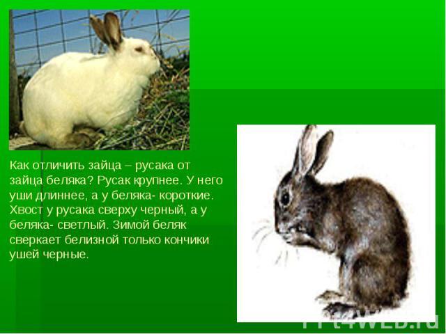 Как отличить зайца – русака от зайца беляка? Русак крупнее. У него уши длиннее, а у беляка- короткие. Хвост у русака сверху черный, а у беляка- светлый. Зимой беляк сверкает белизной только кончики ушей черные.