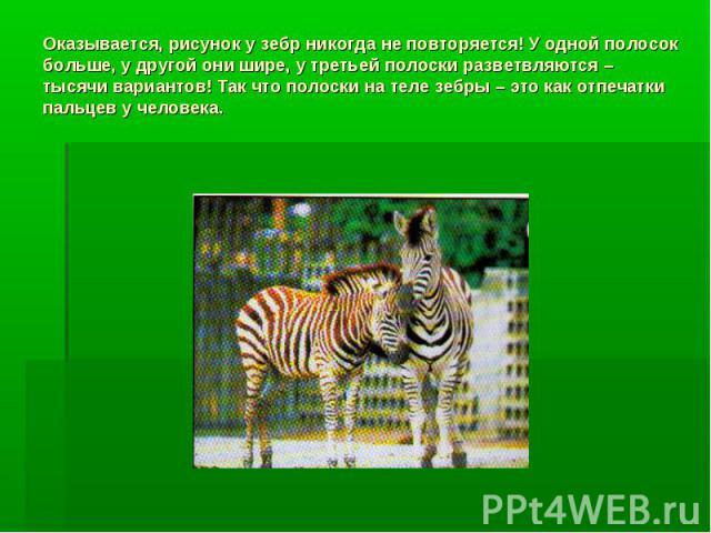 Оказывается, рисунок у зебр никогда не повторяется! У одной полосок больше, у другой они шире, у третьей полоски разветвляются – тысячи вариантов! Так что полоски на теле зебры – это как отпечатки пальцев у человека.