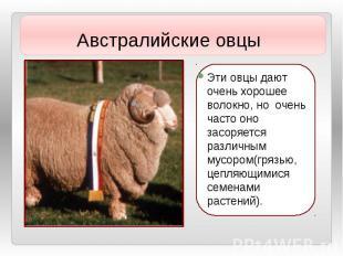 Эти овцы дают очень хорошее волокно, но очень часто оно засоряется различным мус