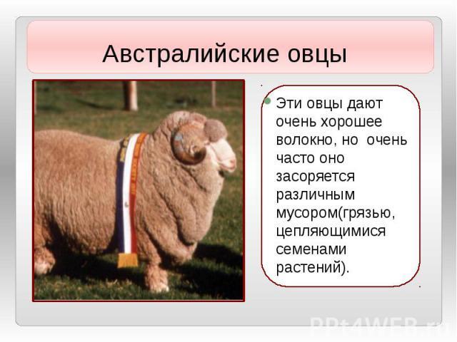 Эти овцы дают очень хорошее волокно, но очень часто оно засоряется различным мусором(грязью, цепляющимися семенами растений). Эти овцы дают очень хорошее волокно, но очень часто оно засоряется различным мусором(грязью, цепляющимися семенами растений).
