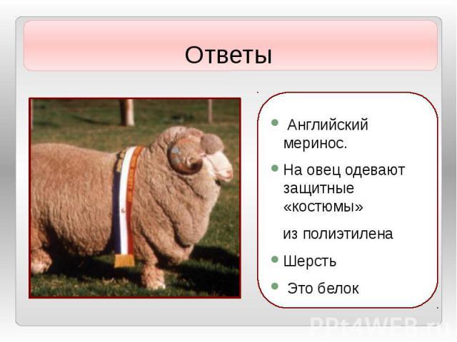 Ответы Английский меринос. На овец одевают защитные «костюмы» из полиэтилена Шерсть Это белок