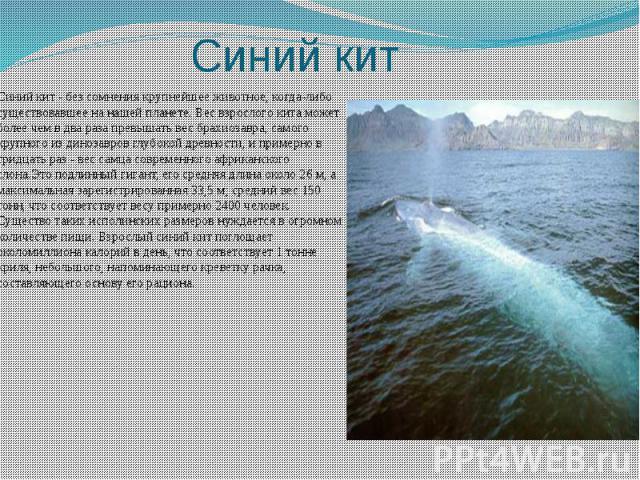 Синий кит Синий кит - без сомнения крупнейшее животное, когда-либо существовавшее на нашей планете. Вес взрослого кита может более чем в два раза превышать вес брахиозавра, самого крупного из динозавров глубокой древности, и примерно в тридцать раз …