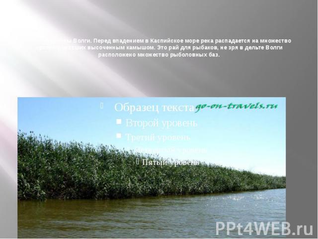 Фото из дельты Волги. Перед впадением в Каспийское море река распадается на множество проток, поросших высоченным камышом. Это рай для рыбаков, не зря в дельте Волги расположено множество рыболовных баз.