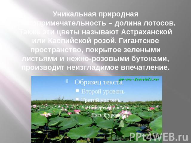 Уникальная природная достопримечательность – долина лотосов. Также эти цветы называют Астраханской или Каспийской розой. Гигантское пространство, покрытое зелеными листьями и нежно-розовыми бутонами, производит неизгладимое впечатление.