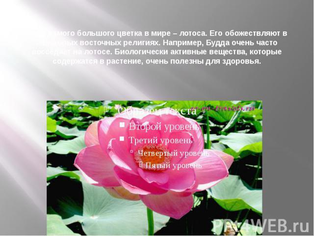 Фото самого большого цветка в мире – лотоса. Его обожествляют в некоторых восточных религиях. Например, Будда очень часто восседает на лотосе. Биологически активные вещества, которые содержатся в растение, очень полезны для здоровья.