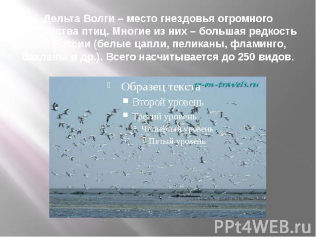 Дельта Волги – место гнездовья огромного количества птиц. Многие из них – большая редкость для России (белые цапли, пеликаны, фламинго, бакланы и др.). Всего насчитывается до 250 видов.