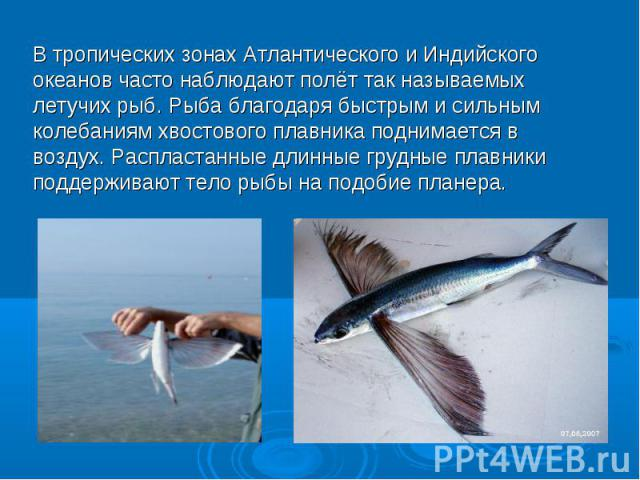 В тропических зонах Атлантического и Индийского океанов часто наблюдают полёт так называемых летучих рыб. Рыба благодаря быстрым и сильным колебаниям хвостового плавника поднимается в воздух. Распластанные длинные грудные плавники поддерживают тело …