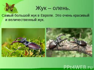 Самый большой жук в Европе. Это очень красивый и величественный жук. Самый больш