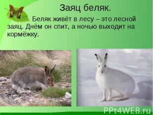 Беляк живёт в лесу – это лесной заяц. Днём он спит, а ночью выходит на кормёжку.