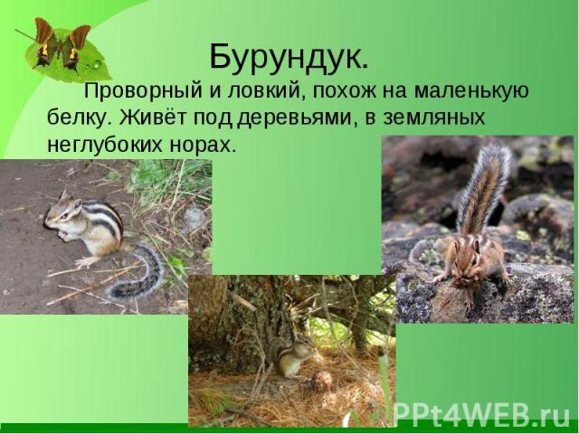 Проворный и ловкий, похож на маленькую белку. Живёт под деревьями, в земляных неглубоких норах. Проворный и ловкий, похож на маленькую белку. Живёт под деревьями, в земляных неглубоких норах.