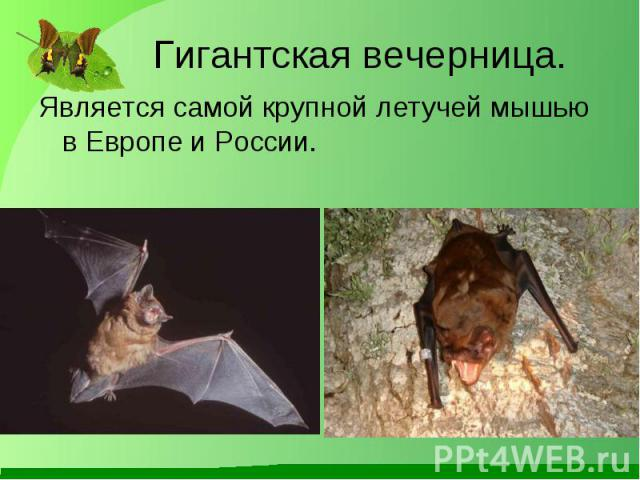 Является самой крупной летучей мышью в Европе и России. Является самой крупной летучей мышью в Европе и России.
