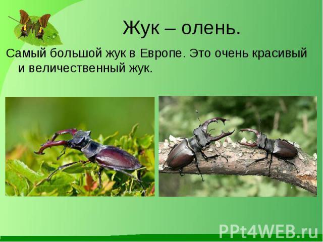 Самый большой жук в Европе. Это очень красивый и величественный жук. Самый большой жук в Европе. Это очень красивый и величественный жук.