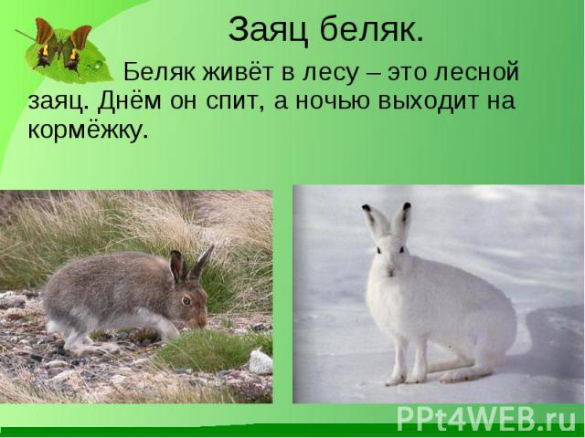 Беляк живёт в лесу – это лесной заяц. Днём он спит, а ночью выходит на кормёжку. Беляк живёт в лесу – это лесной заяц. Днём он спит, а ночью выходит на кормёжку.