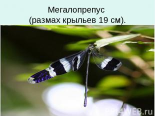 Мегалопрепус (размах крыльев 19 см).