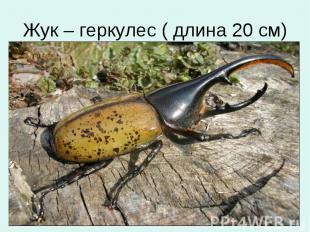 Жук – геркулес ( длина 20 см)
