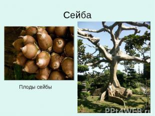 Сейба