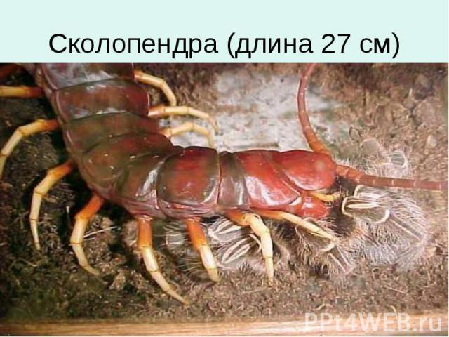 Сколопендра (длина 27 см)