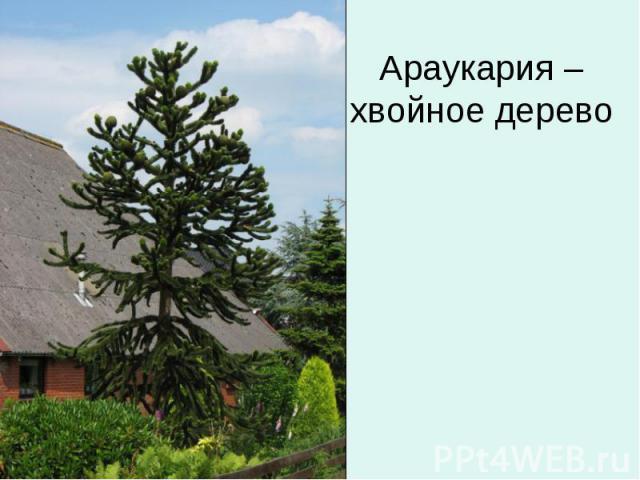 Араукария – хвойное дерево