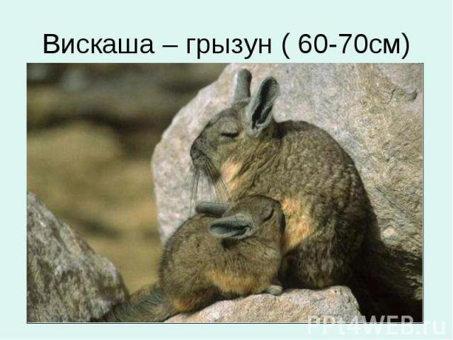 Вискаша – грызун ( 60-70см)