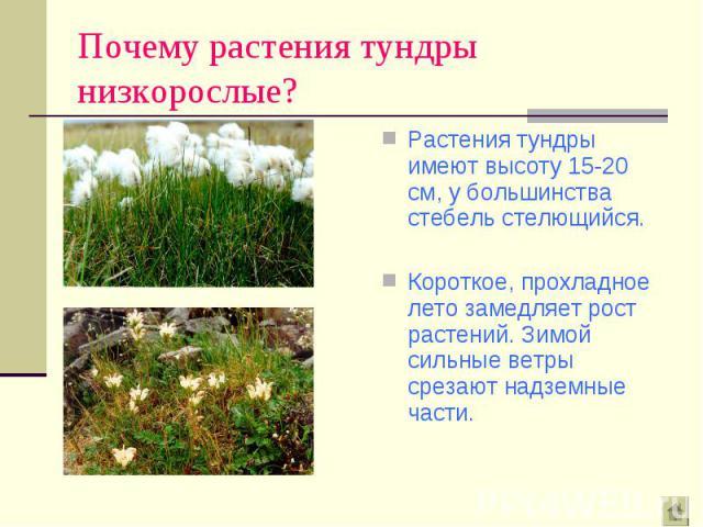 Растения тундры имеют высоту 15-20 см, у большинства стебель стелющийся. Растения тундры имеют высоту 15-20 см, у большинства стебель стелющийся. Короткое, прохладное лето замедляет рост растений. Зимой сильные ветры срезают надземные части.