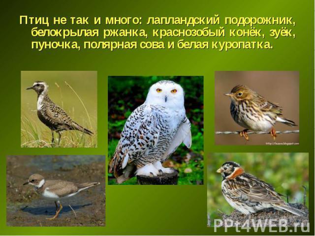 Птиц не так и много: лапландский подорожник, белокрылая ржанка, краснозобый конёк, зуёк, пуночка, полярная сова и белая куропатка. Птиц не так и много: лапландский подорожник, белокрылая ржанка, краснозобый конёк, зуёк, пуночка, полярная сова и бела…