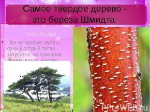 Самое твердое дерево - это береза Шмидта Текст слайда
