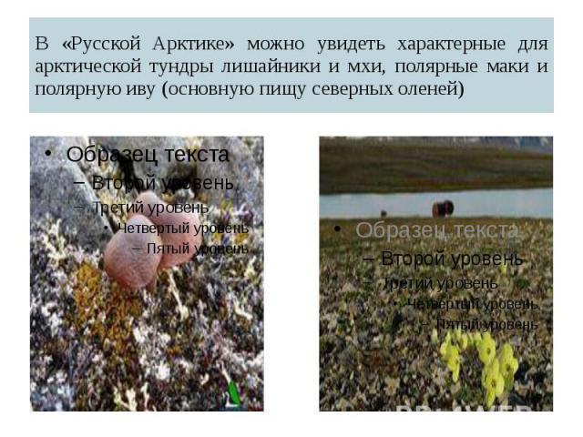 В «Русской Арктике» можно увидеть характерные для арктической тундры лишайники и мхи, полярные маки и полярную иву (основную пищу северных оленей)