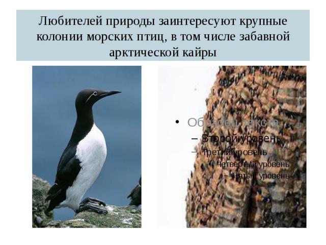 Любителей природы заинтересуют крупные колонии морских птиц, в том числе забавной арктической кайры