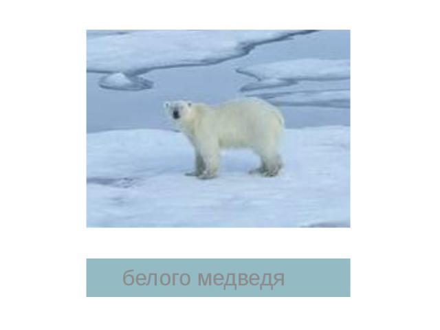 белого медведя