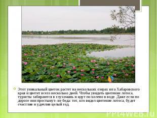 Этот уникальный цветок растет на нескольких озерах юга Хабаровского края и цвете