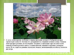 А лотос очень красив, особенно в период цветения, которое в Хабаровском кр