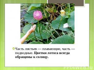 Часть листьев — плавающие, часть — подводные.Цветки лотоса всегда обращены