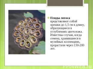 Плоды лотоса представляют собой орешки до 1,5 см в длину, образующиеся в углубле