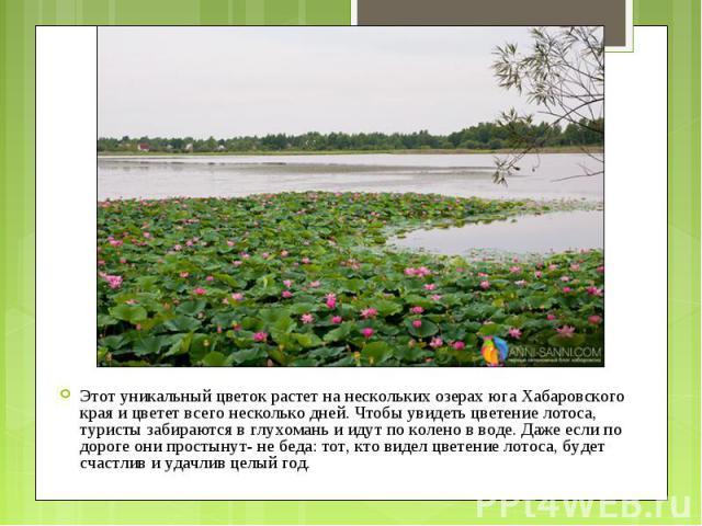 Этот уникальный цветок растет на нескольких озерах юга Хабаровского края и цветет всего несколько дней. Чтобы увидеть цветение лотоса, туристы забираются в глухомань и идут по колено в воде. Даже если по дороге они простынут- не беда: тот, кто видел…