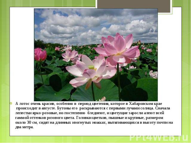 А лотос очень красив, особенно в период цветения, которое в Хабаровском крае происходит в августе. Бутоны его раскрываются с первыми лучами солнца. Сначала лепестки ярко-розовые, но постепенно бледнеют, и цветущие зарос…