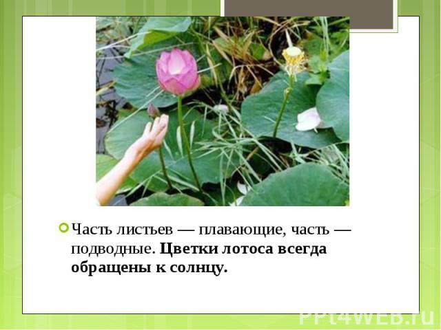 Часть листьев — плавающие, часть — подводные.Цветки лотоса всегда обращены к солнцу. Часть листьев — плавающие, часть — подводные.Цветки лотоса всегда обращены к солнцу.