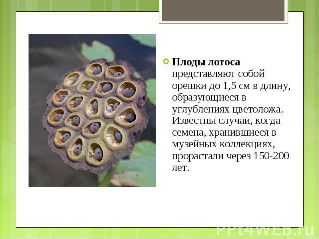 Плоды лотоса представляют собой орешки до 1,5 см в длину, образующиеся в углублениях цветоложа. Известны случаи, когда семена, хранившиеся в музейных коллекциях, прорастали через 150-200 лет. Плоды лотоса представляют собой орешки до 1,5 см в длину,…