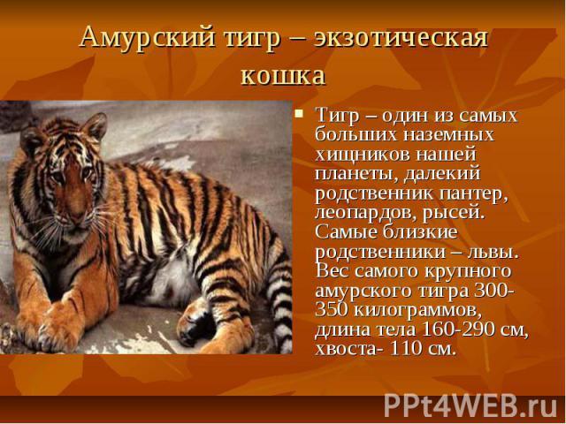 Амурский тигр – экзотическая кошка Тигр – один из самых больших наземных хищников нашей планеты, далекий родственник пантер, леопардов, рысей. Самые близкие родственники – львы. Вес самого крупного амурского тигра 300-350 килограммов, длина тела 160…