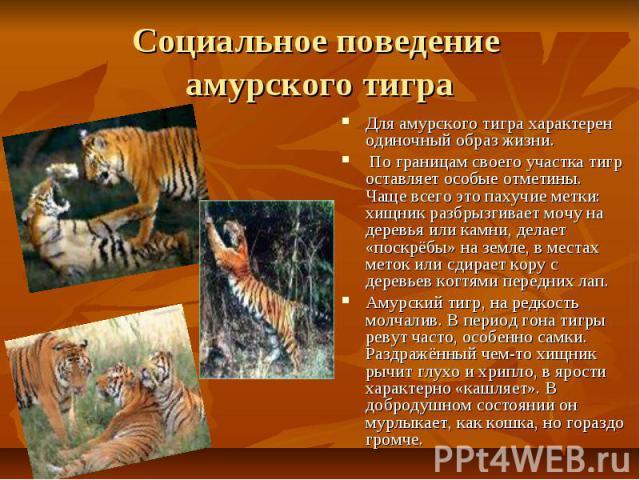 Социальное поведение амурского тигра Для амурского тигра характерен одиночный образ жизни. По границам своего участка тигр оставляет особые отметины. Чаще всего это пахучие метки: хищник разбрызгивает мочу на деревья или камни, делает «поскрёбы» на …