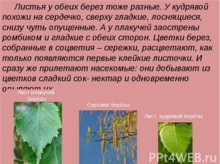 Листья у обеих берез тоже разные. У кудрявой похожи на сердечко, сверху гладкие,